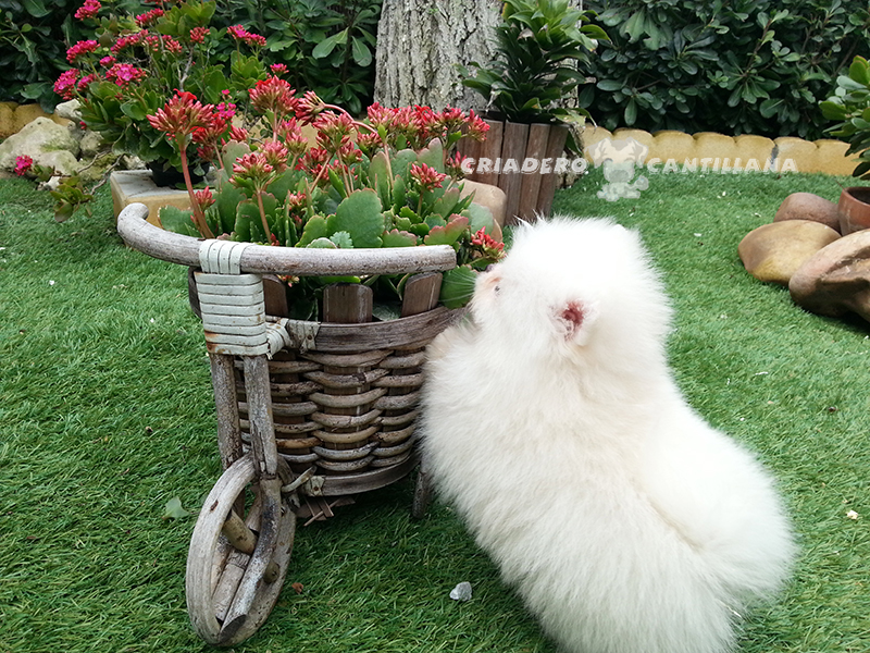 cachorro-pomerania-blanco-miniatura1