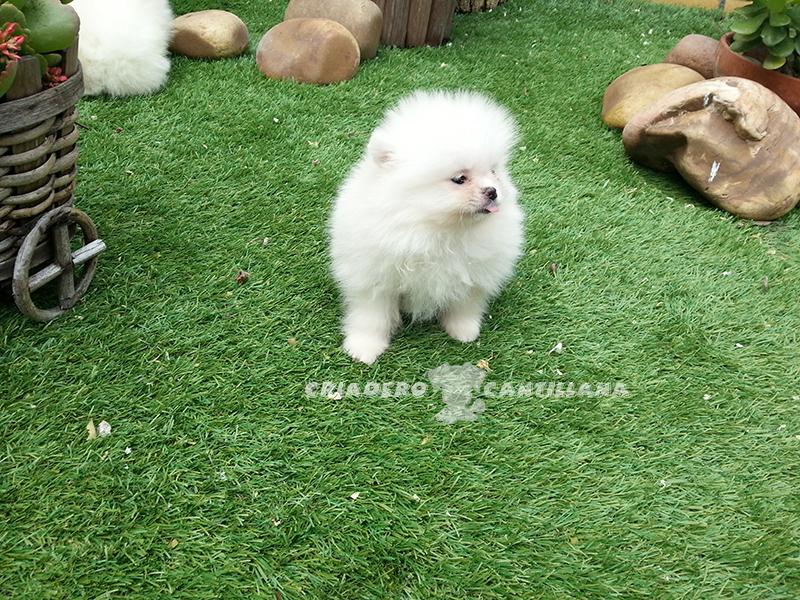 cachorro-pomerania-blanco-precio1