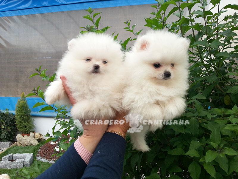 cachorro-pomerania-blanco11