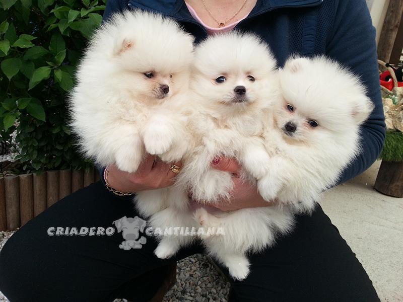 cachorros-pomerania-blanco11