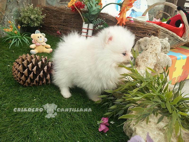 comprar-cachorro-pomerania-blanco1