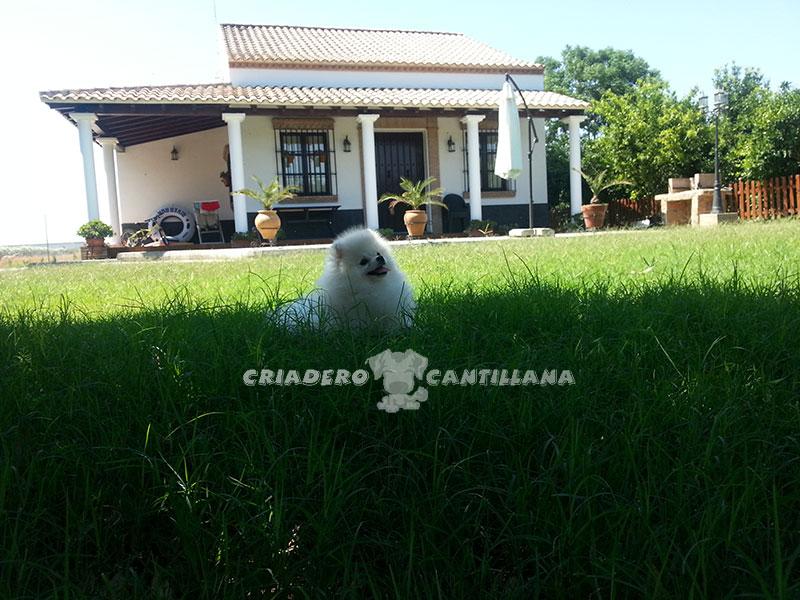 compro-pomerania-blanco