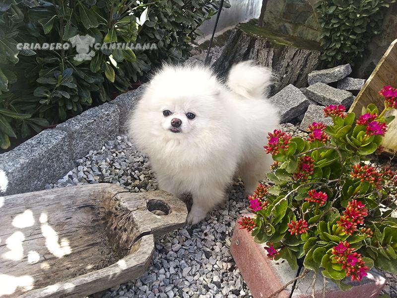 criadero-pomerania-blanco-toy2
