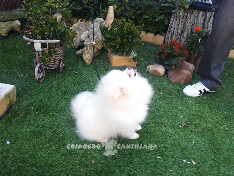 criadero-pomerania-blanco2