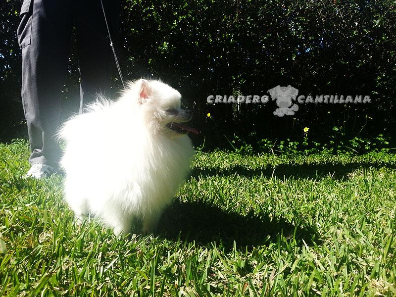criadero-pomerania-blanco31