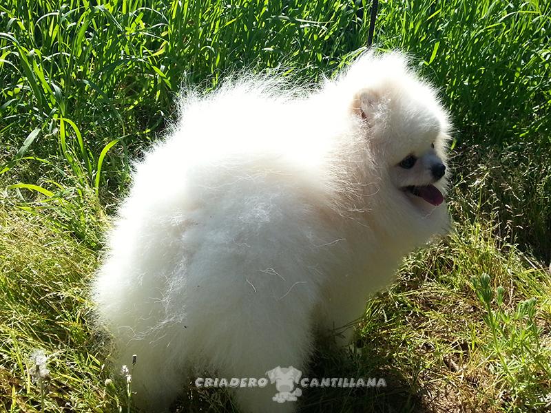 criadero-pomerania-blanco5