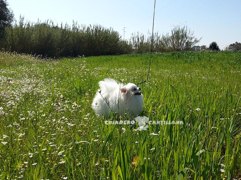 perro-pomerania-blanco-toy2