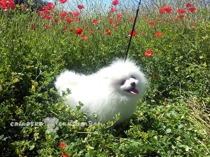 perro-pomerania-blanco1