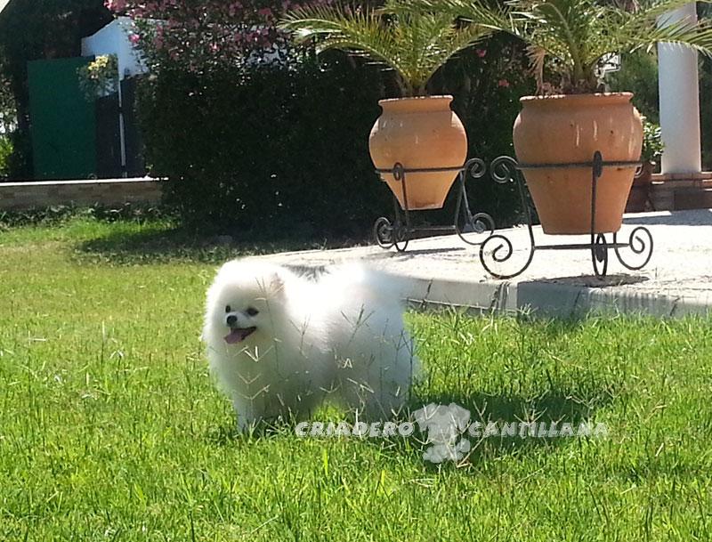 perro-pomerania-blanco11