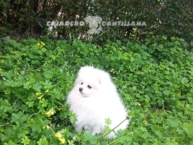 perro-pomerania-blanco2