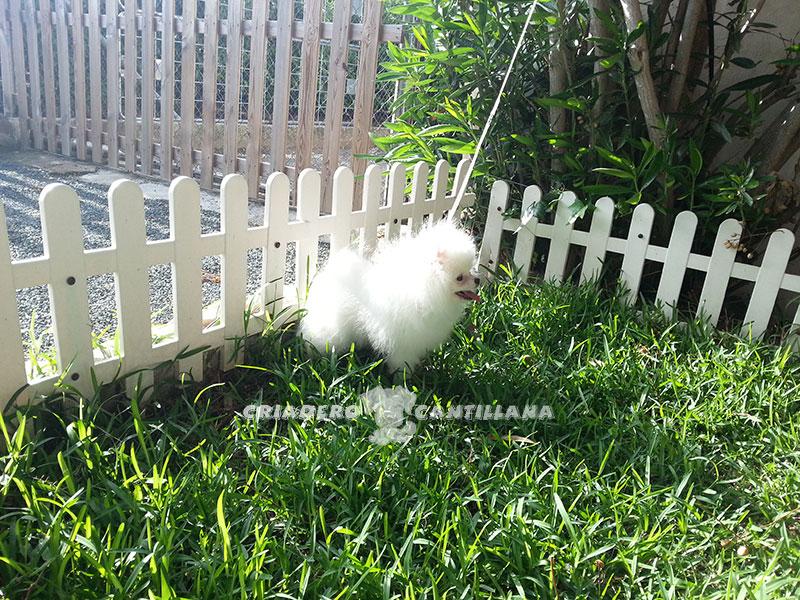perro-pomerania-blanco3