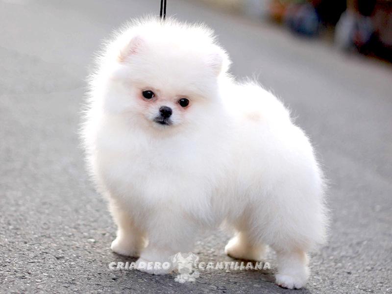 perro-pomerania-blanco51