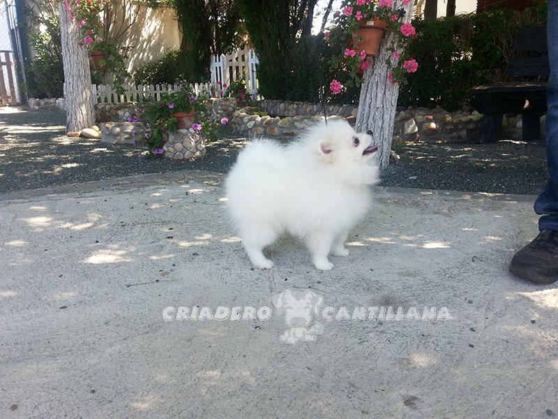 pomerania-blanco-enano1