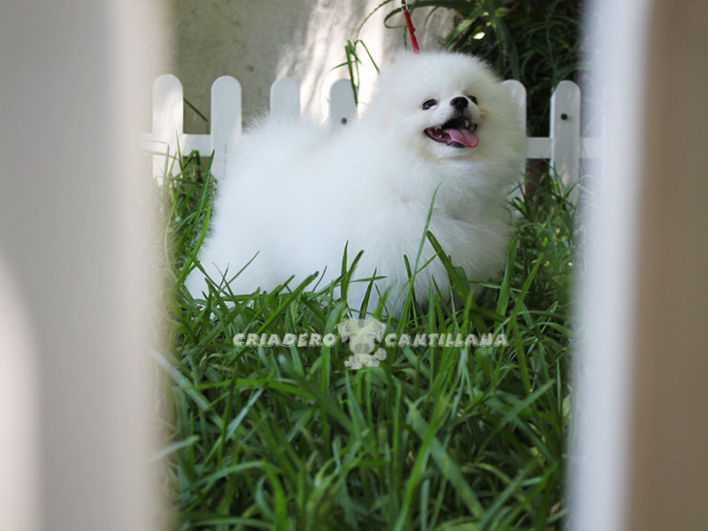 pomerania-blancos1