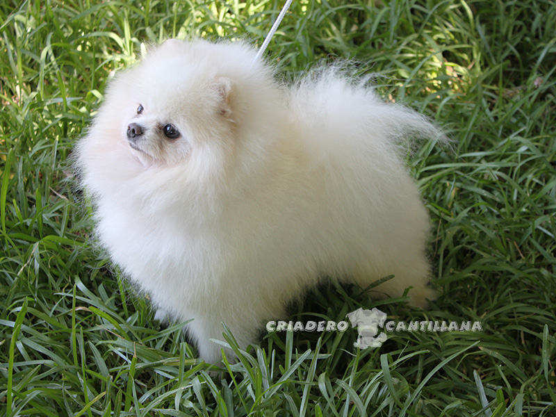 pomerania-blancos2