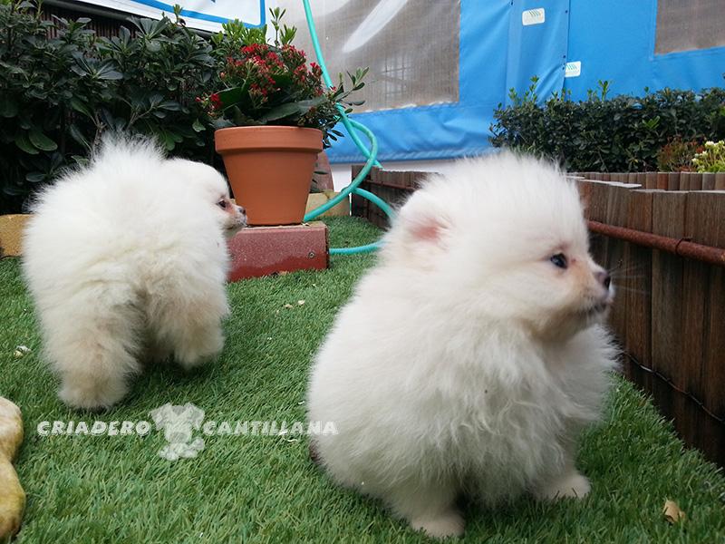 precio-cachorro-pomerania-blanco1