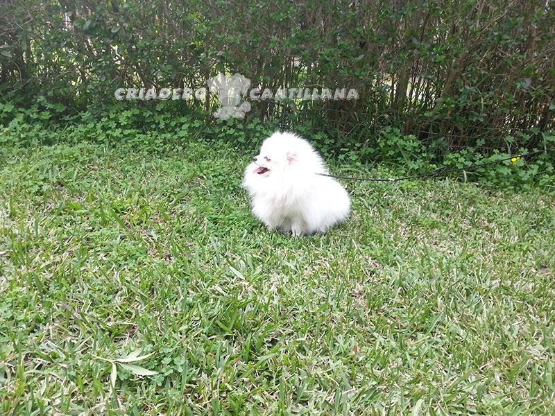 precio-perro-pomerania-blanco11
