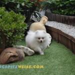 Weißer Pomeranian